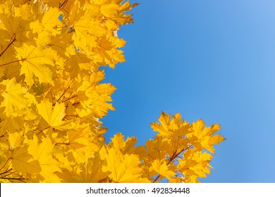 Autumn maple tree. Yellow leaves on blue sky background