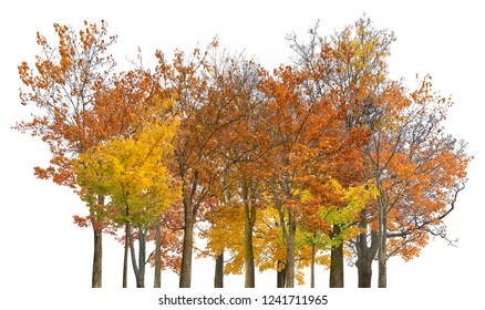 autumn maple trees isoalted on white background
