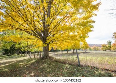 Autumn maples in a rural field