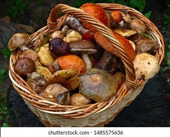 An autumn Mashroom season and picking. Wicker basket with edible mushrooms. Boletus, white and polish mushrooms