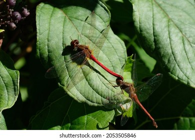 Autumn meadowhawk (Sympetrum vicinum) male and female dragonfly mating in tandem linkage on a leaf in Ottawa, Ontario, Canada.