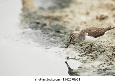 Autumn migrant Common sandpiper Actitis hypoleucos at stop-over  with caught rat-tailed maggot in bill. Ghadira Nature Reserve, Malta, Mediterranean