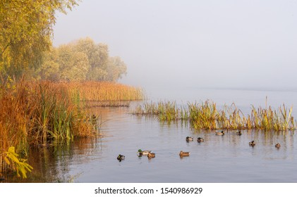 Autumn mist on the Dnieper river, in the morning, in Kiev, Ukraine. Reeds and trees emerge from the fog, Mallard ducks are swimming on the calm water