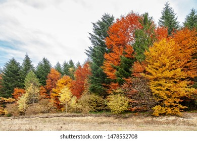 Autumn mixed forest, colorful trees. Deciduous and coniferous forest with yellow, orange leaves, green needles. Dry grass on the ground