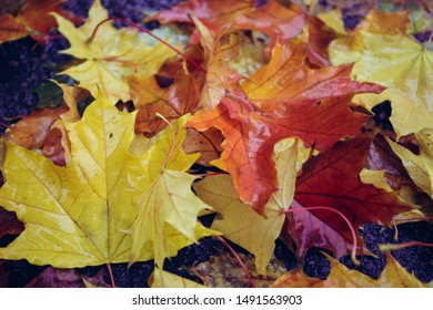 autumn mood - background of autumn colorful maple leaves