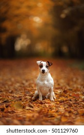 autumn mood. Jack Russell Terrier dog with leaves. gold and red color, walk in the park