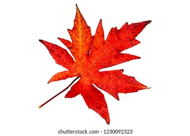 Autumn, multicolored maple leave