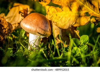 Autumn mushroom in the grass