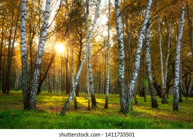 Autumn nature. Fall forest in sunlight. Birch trees in autumnal forest. Fall landscape