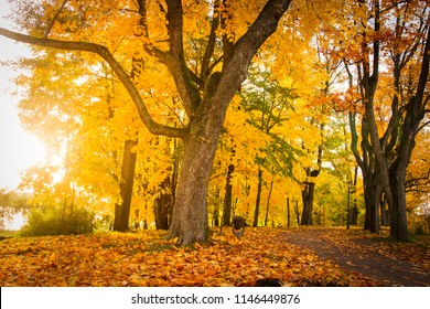 Autumn nature landscape in colorful park. Yellow foliage on trees in alley. Fall in october