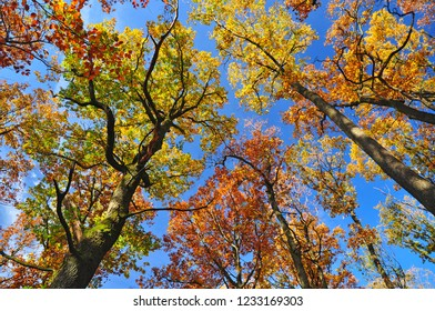 Autumn nature with oak trees colorful foliage