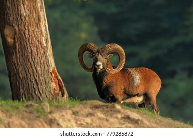 Autumn nature. Wild nature of Czech. Muflon is the only representative of the genus of wild sheep in the European and Czech nature.