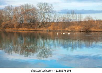 autumn nature with wild swans on the river