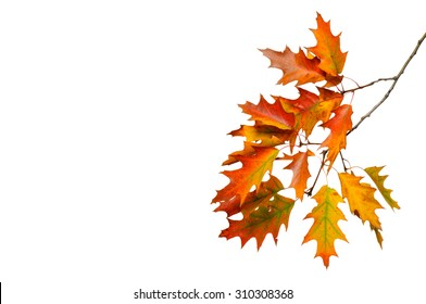 Autumn oak branch isolated on white background.