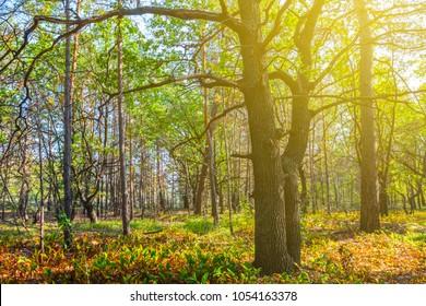 autumn oak forest scene in a sunlight