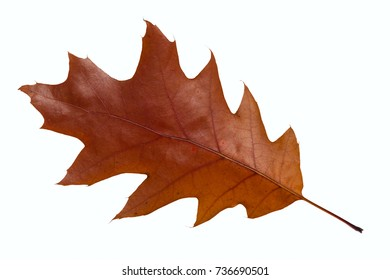 autumn oak leaf on white background