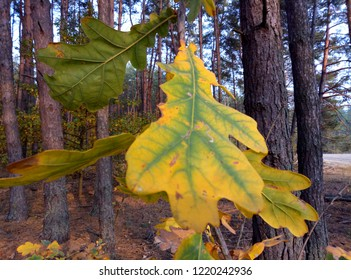 In autumn, oak leaves acquire a different color