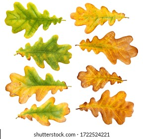 autumn oak leaves isolated on white background with clipping path. collection of fallen leaves.