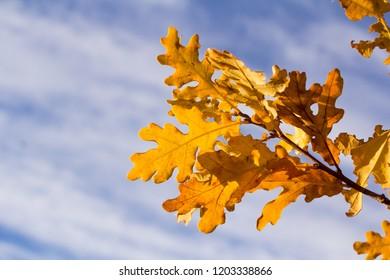 Autumn oak leaves in the sun