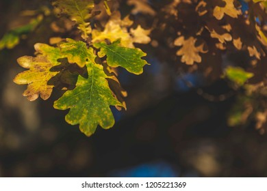 Autumn oak leaves turning from green to brown and blurred forest background