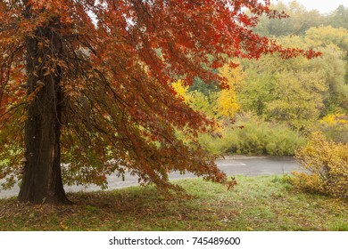 autumn oak with red leaves