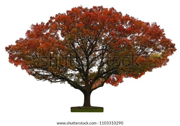Autumn oak tree isolated on white background