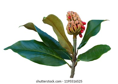 Autumn. One magnolia ( Magnolia grandiflora ) fruit with seeds and leaves. Isolated on white background