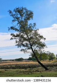 Autumn, open field with diagonal tree of the woods of Deelen; part of the Veluwe, Netherlands.