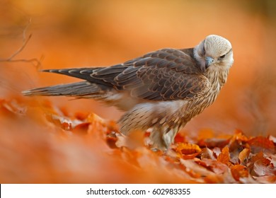 Autumn in orange forest. Lanner Falcon, rare bird of prey with orange leaves in autumn forest, Spain. Wildlife scene from nature.