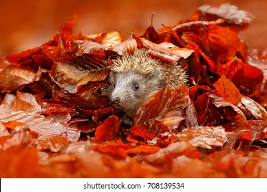 Autumn orange leaves with hedgehog. European Hedgehog, Erinaceus europaeus,  photo with wide angle. Cute funny animal with snipes.