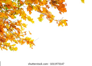 Autumn orange leaves on a white background. Autumn leaves isolated on white background.