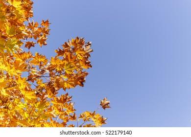 Autumn orange maple leaves against the blue sky