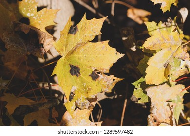 Autumn orange maple leaves with black spots disease. Rhytisma acerinum illness of maples trees