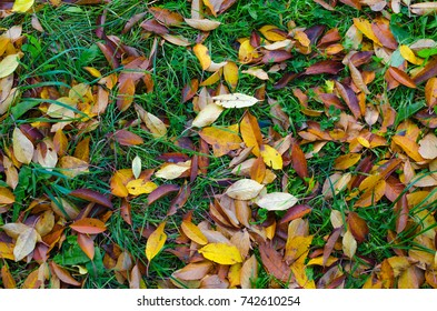 Autumn. Orange and yellow cherry tree leaves laying on the still green grass.