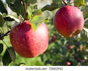 In the autumn orchard with mature apples