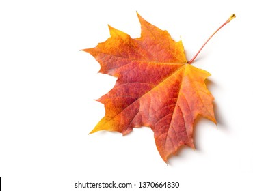 Autumn painting, Autumn maple leaves, Solitary leaf on white background, different colors. Yellow, red, burgundy, green, orange, Tree with wide, in most species, figured leaves.
