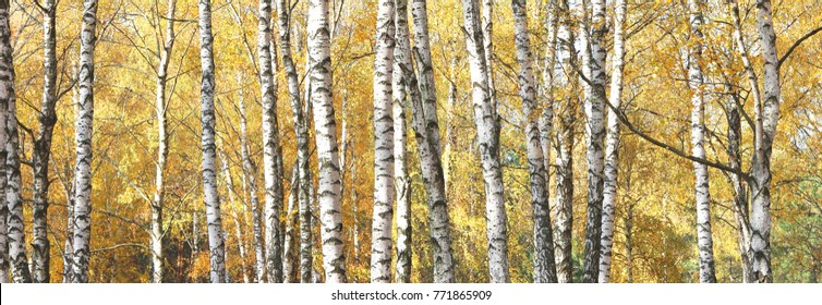 autumn panorama with beautiful birches