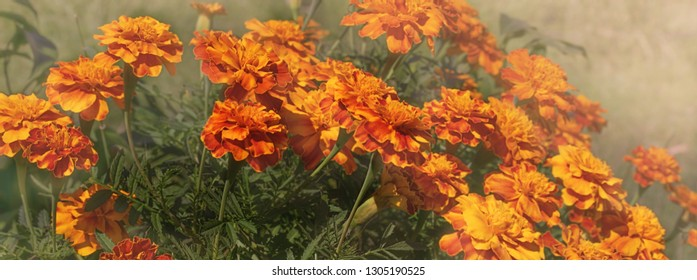 Autumn panorama of yellow and orange Marigolds on a misty smoky morning