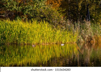 Autumn park with ducks on the background of reeds. Reflection of reeds in the pond