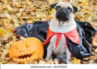 Autumn in the park, pug halloween