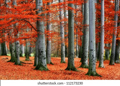 Autumn park of red beech trees.