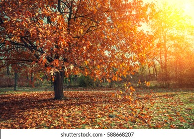 Autumn park. Tree with red leaves