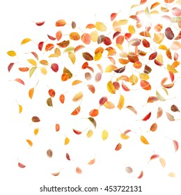 Autumn pear leaves, on white background.