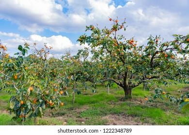 Autumn persimmon farm