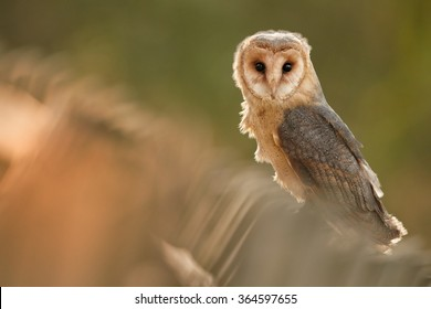 Autumn photo Tyto alba guttata  Barn Owl perched on old wooden fence in late afternoon sun,staring directly at camera. Colorful orange background.  Diagonal composition.