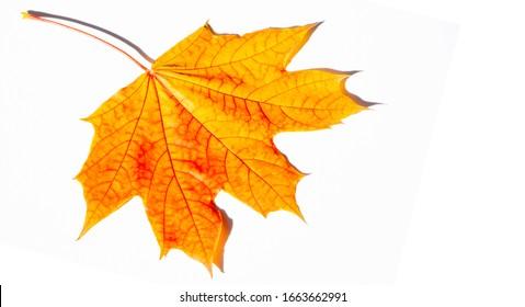 Fotografía de otoño, colorida hoja de arce multicolor multicolor, aislada en un fondo blanco