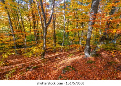 Autumn photos of the Crimean peninsula, Beech hornbeam forests. Forests with a predominance of forest beech make up about 15-40% of forests in Europe. national parks reserves nature parks and reserves