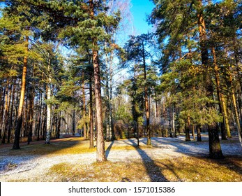 Autumn pine forest first snow. First snow in autumn pine forest. Autumn snow pine forest trees. Autumn snow pine forest