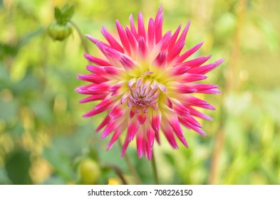 autumn pink dahila flower on green flowerbed background