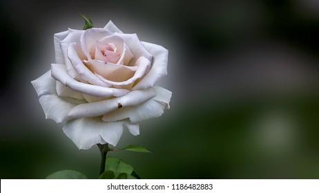 Autumn Pink Rose Close Up